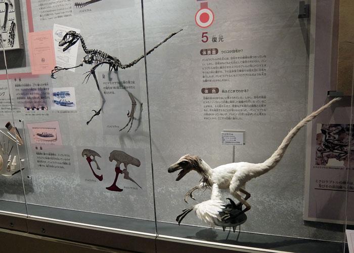 バンビラプトルの全身骨格と復元模型