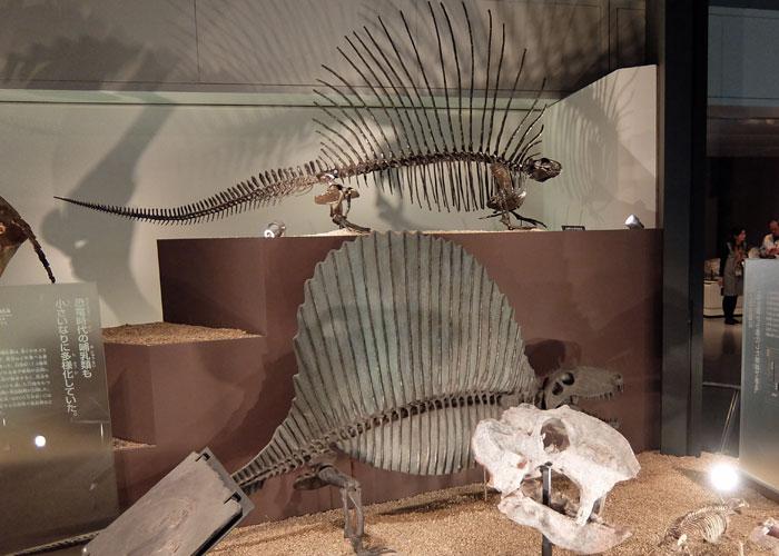 国立科学博物館のエダフォサウルスとディメトロドンの化石・全身骨格の写真