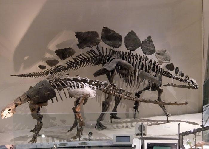 国立科学博物館のステゴサウルスとスコロサウルスの全身骨格