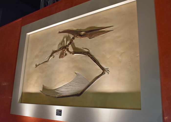 プテラノドンの化石(神奈川県立生命の星・地球博物館)