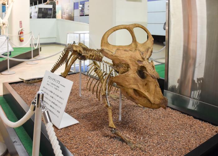 京都市青少年科学センターにあるプロトケラトプスの全身骨格模型・化石