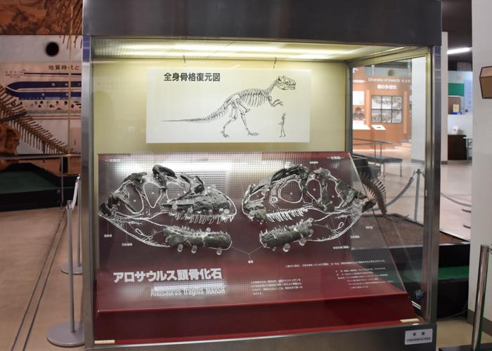 京都市青少年科学センターで展示されている実物のアロサウルス頭骨化石