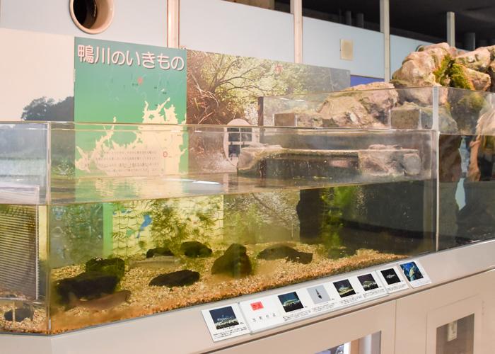 京都市青少年科学センター「鴨川のいきもの」の展示水槽
