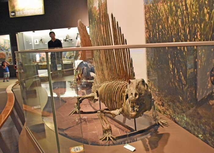 ディメトロドンの全身骨格模型:豊橋市自然史博物館