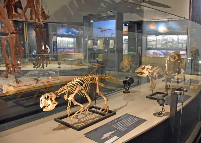 豊橋市自然史博物館にあるプシッタコサウルスの全身骨格模型