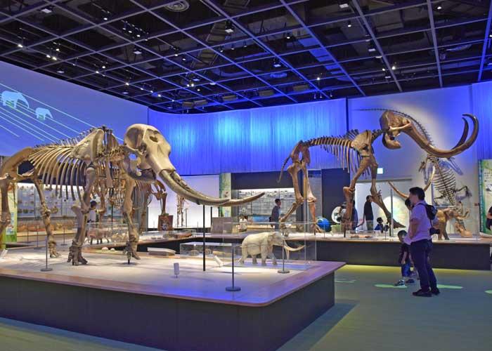 豊橋市自然史博物館のアケボノゾウ・ナウマンゾウ・ケナガマンモスの全身骨格