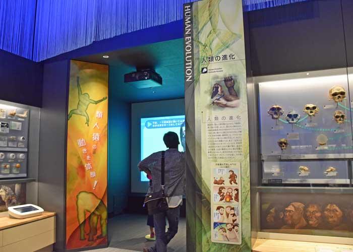 豊橋市自然史博物館の人類の進化の展示