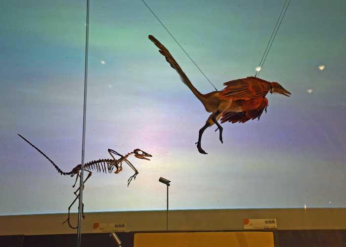 始祖鳥の復元模型と全身骨格の比較:豊橋市自然史博物館