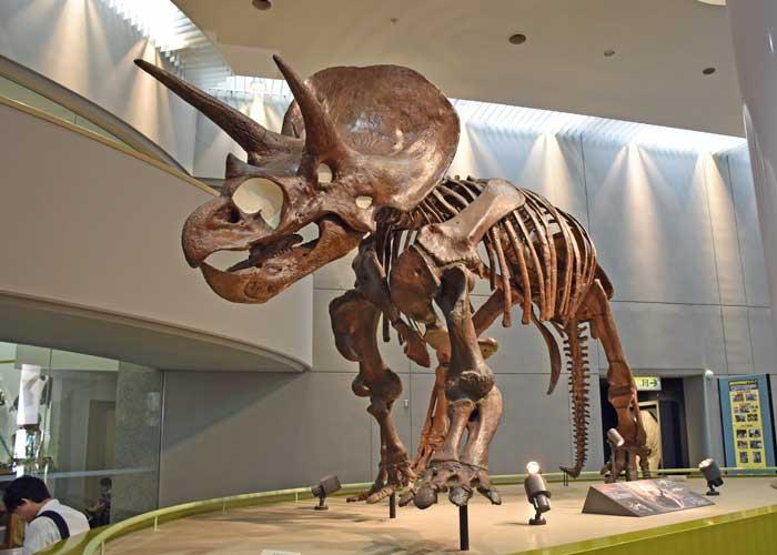 トリケラトプスの全身骨格模型:豊橋市自然史博物館の自然史スクエア