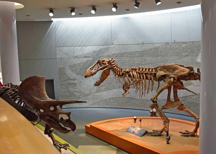 豊橋市自然史博物館の中生代展示室からみたティラノサウルスとトリケラトプスの全身骨格