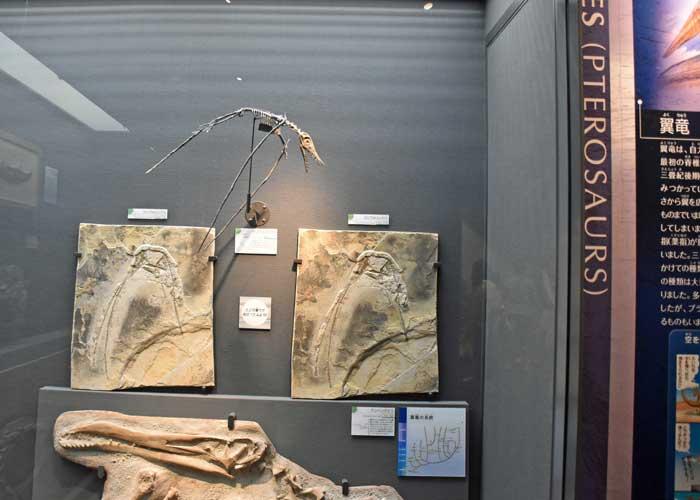 翼竜ランフォリンクスとアンハングエラの展示:豊橋市自然史博物館